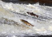 Thumbnail for article : Funding to address challenges around salmon stocks
